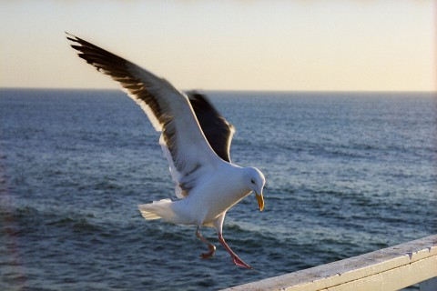 Seagull Landing On The Pier