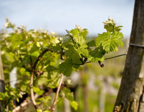Vine Shoots In The Spring