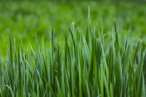 Young Clump Of Grass